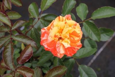mehrfarbige Rose gelb und rot