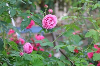 rosa Rosen Pflanze
