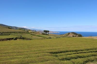 Teeanbau Teefeld