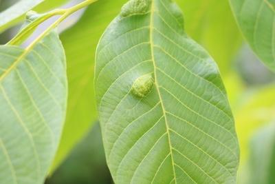 Walnussbaum Blatt