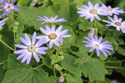 Aschenblumen