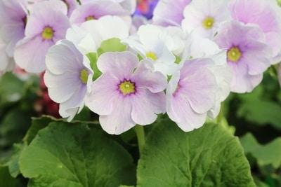 Becherprimel Primula obconica Blüten