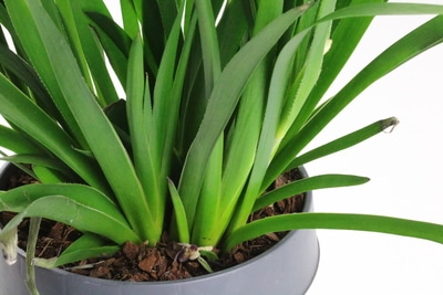Känguru-Blumen Zimmerpflanze