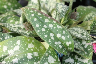 Lungenkraut Pflanze