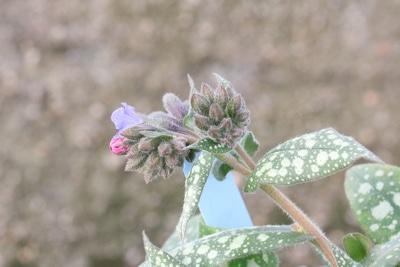 Lungenkraut Blätter und Blüten
