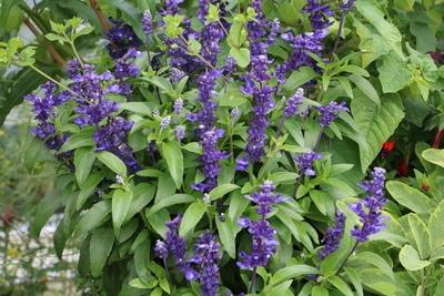 Salvia farinacea