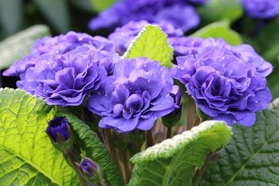 Primel violett gefüllt