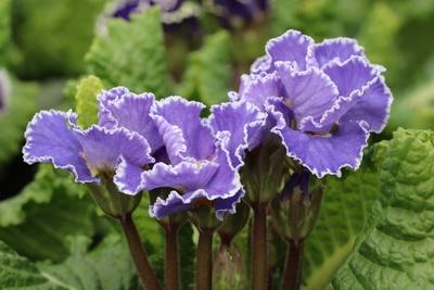 gerandete blaue violette Primel