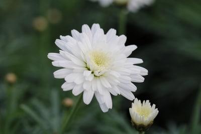 Blüte weiß der Strauchmargerite