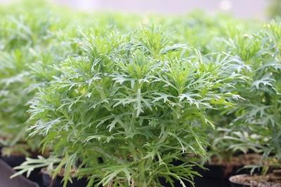 Argyranthemum ohne Blüten