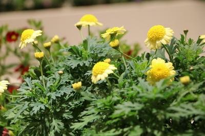 Strauchmargerite mit gelben Blüten