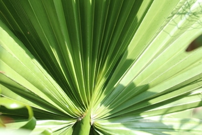 Washingtonia filifera Blatt