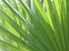 washingtonia robusta Blatt