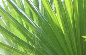 washingtonia robusta Blatt