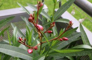 Oleander mit Blüten