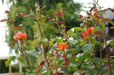 Rote Rosen Rosengarten