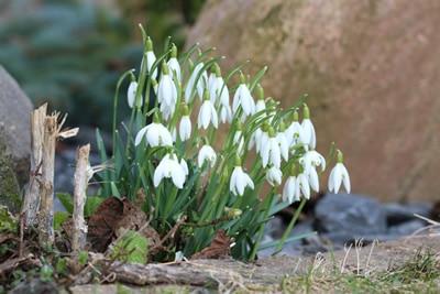 Schneeglöckchen, Blumen vertragen Frost