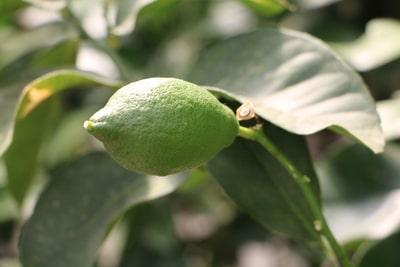 Zitronenbaum mit Zitrone