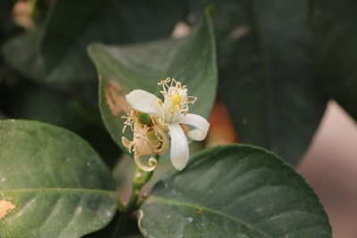 Zitronenbaum mit Blüte
