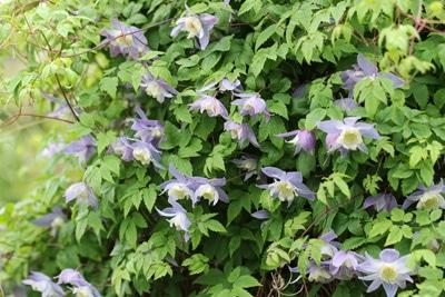 Alpenwaldrebe Blue Princess