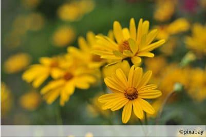 Sonnenauge Heliopsis