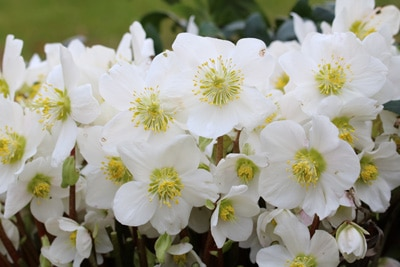 Blumenarten Christrose