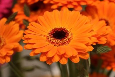 Blumenarten Gerbera