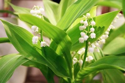 Blumenarten Maiglöckchen