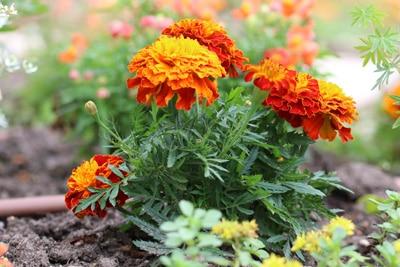 Blumenarten Tagetes