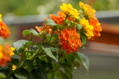 Blumenarten Wandelröschen