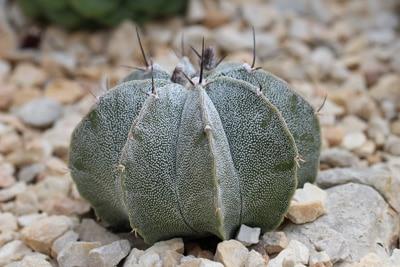 Bischofsmütze - Astrophytum myriostigma