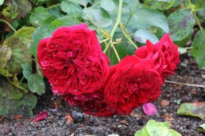 rote Rosen verblühen