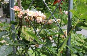 Rosen verblühen