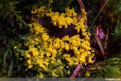 Schleimpilz - Hexenbutter - gelbe Lohblüte