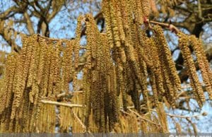 Baumhasel - Corylus colurna - türkische Haselnuss