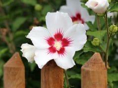 Hibiskus - Hibiscus