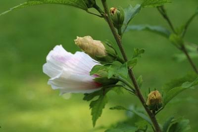 Hibiskusbaum - Hibiscus