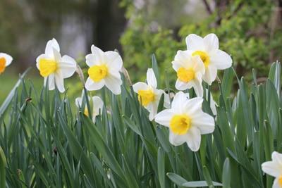 Narzissen - Blumenkasten bepflanzen