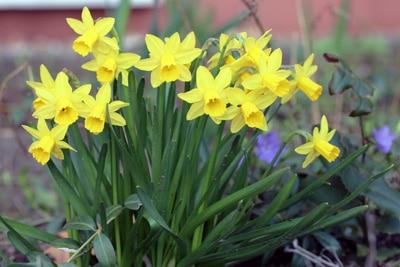 Narzissen - Narcissus