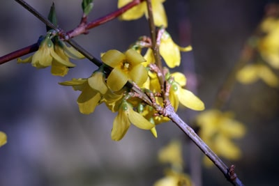Forsythie Goldglöckchen - Forsythia intermedia