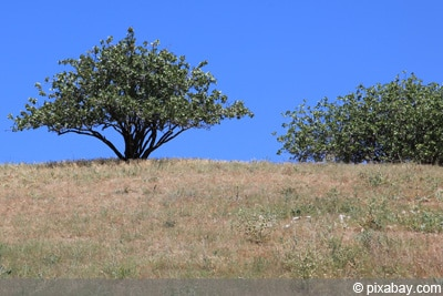 Pistazien - Pistazienbaum - Pistacia vera