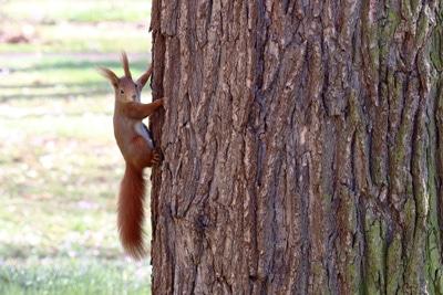 Eichhörnchen im Winter