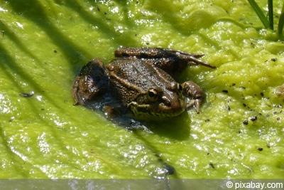 Gartenteich mit Fadenalgen und Frosch