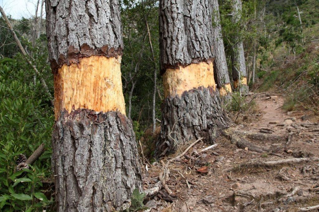 Ringelung am Baum