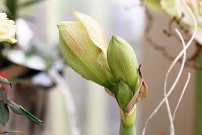 Amaryllis - Ritterstern - Hippeastrum