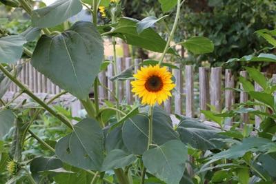 Sonnenblume - Helianthuns annuus