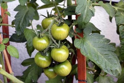 Tomatenfrüchte