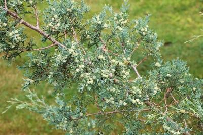 Scheinzypresse - Chamaecyparis thyoides