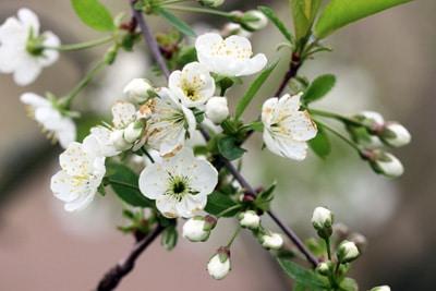 Apfelblüte - Malus