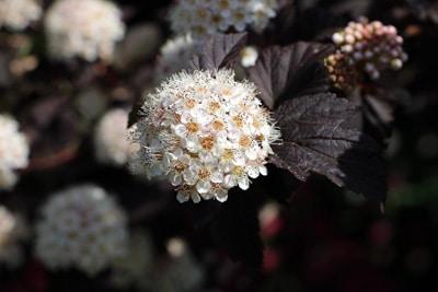 Blasenspiere - Physocarpus opulifolius